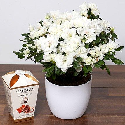 Beautiful White Azalea Plant & Godiva Truffles