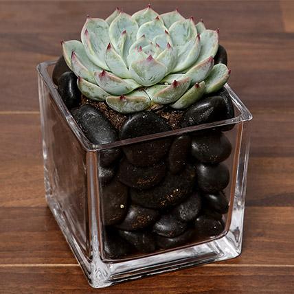 Green Echeveria Plant In Square Vase